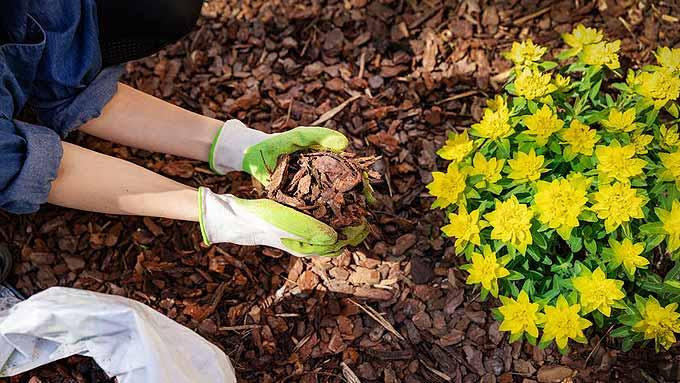 Paillage de fleurs avec un paillis d'écorce de pin