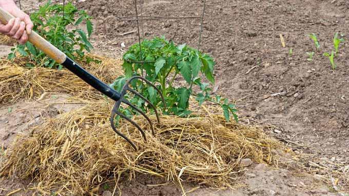 Le paillage de plants de tomates avec de la paille