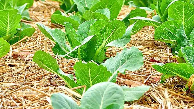Paillis de paille autour de jeunes légumes