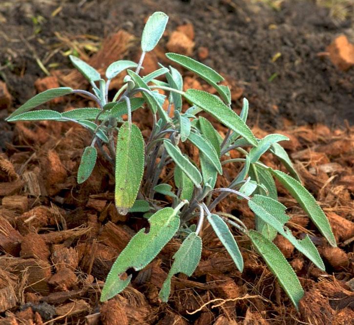 Plant de sauge