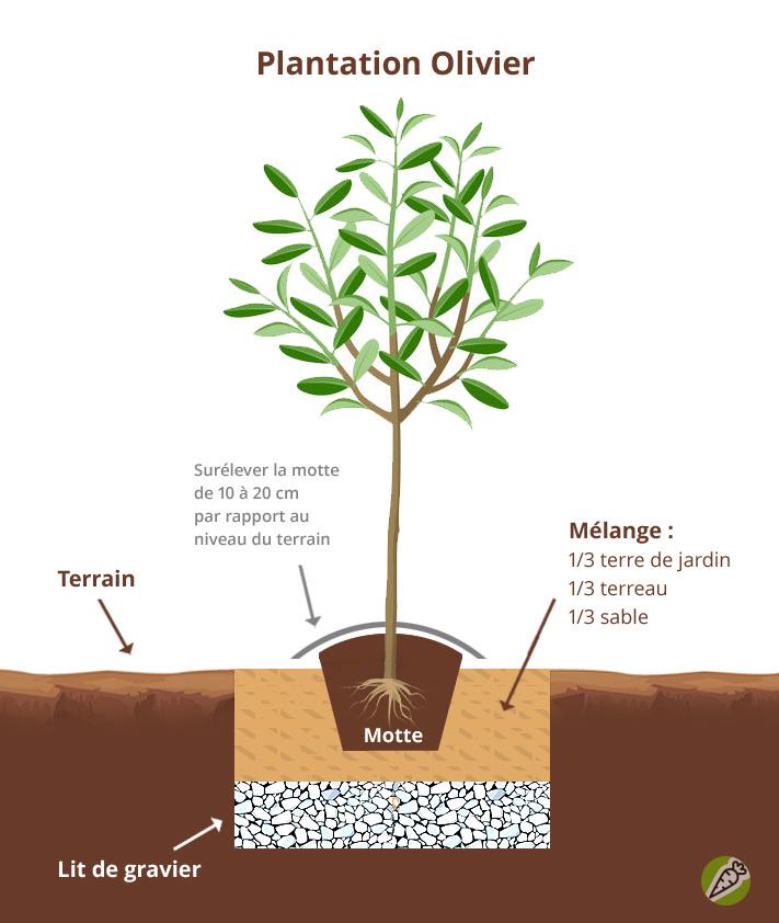 Shéma de plantation de l'olivier