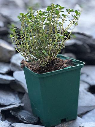 Repiquage d'un plant de thym citron.