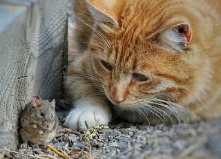 Chat chassant une souris dans le jardin