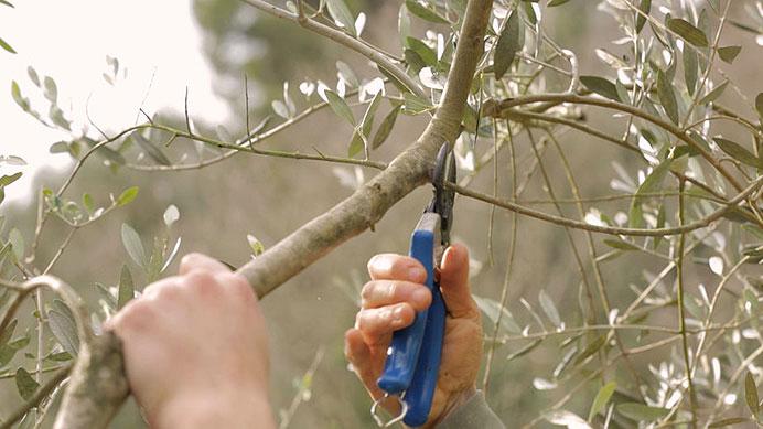 Tailler l'olivier
