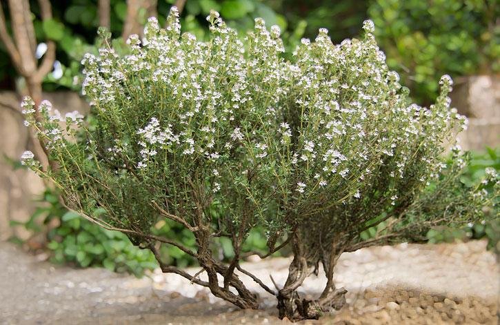 Floraison thym