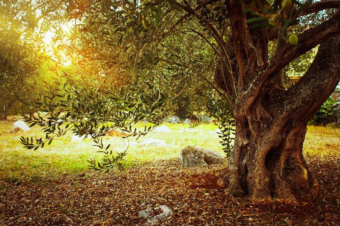 Le tronc noueux de l'olivier