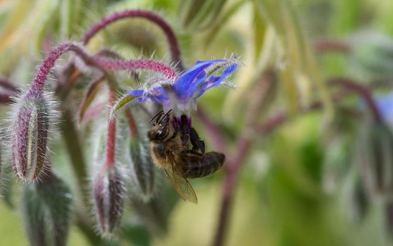 Abeille qui butine une fleur de bourrache