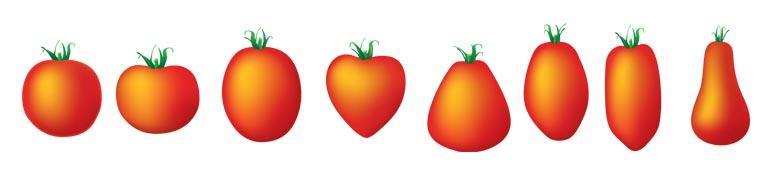 Formes et variétés de tomate