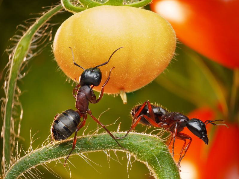 Fourmis qui s'attaquent aux tomates du potager