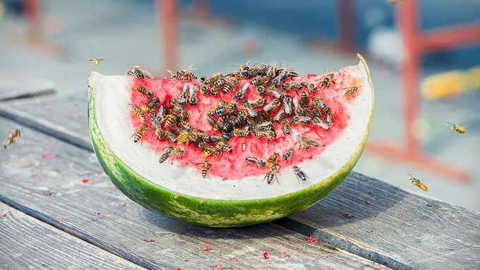 Melon d'eau pour attirer les guêpes