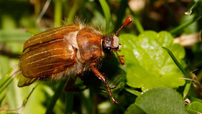 Hanneton commun (Melolontha melolontha)