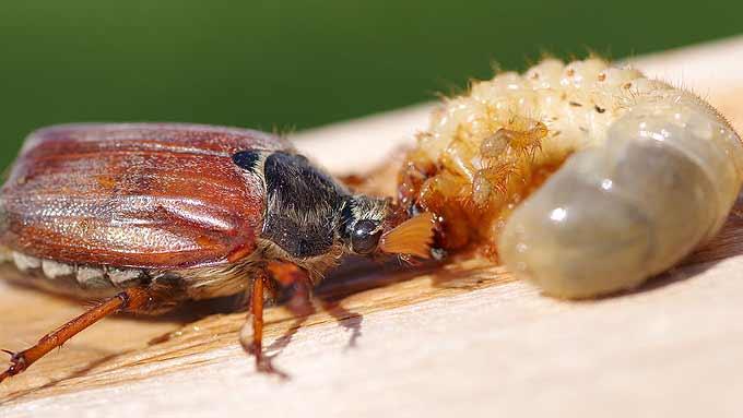 Hanneton et larve du hanneton