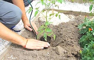 Plantation des tomates au potager.