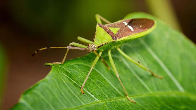 Punaise verte sur une feuille (Hemiptera)