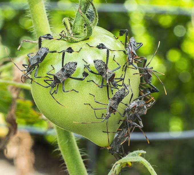 Punaises se nourrissent de tomates vertes au potager.