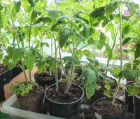 Quand repiquer mes plants de tomate ?