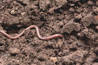 Ver de terre dans le sol du potager