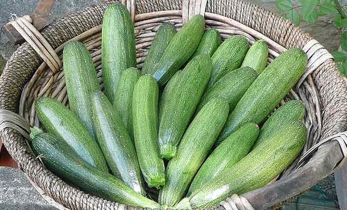 La récolte des courgettes du potager