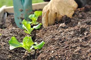 Légumes à planter au potager