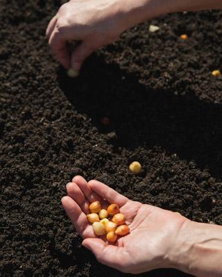 Semis et repiquage d'oignons