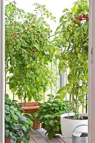 Tomates pour un potager balcon