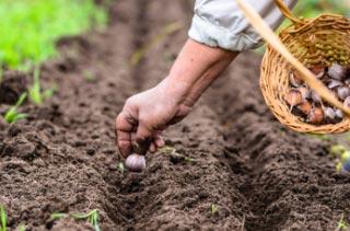 Plantation d'ail