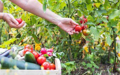 conseil culture tomate