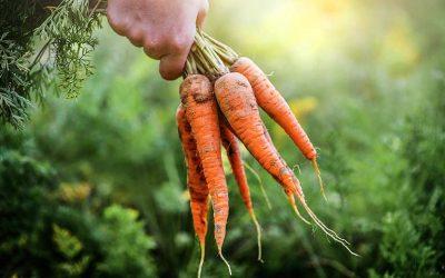 conseil culture carotte