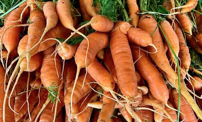 Récolte de grosses carottes au potager