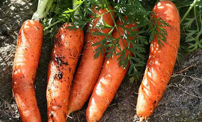 La récolte des premières carottes
