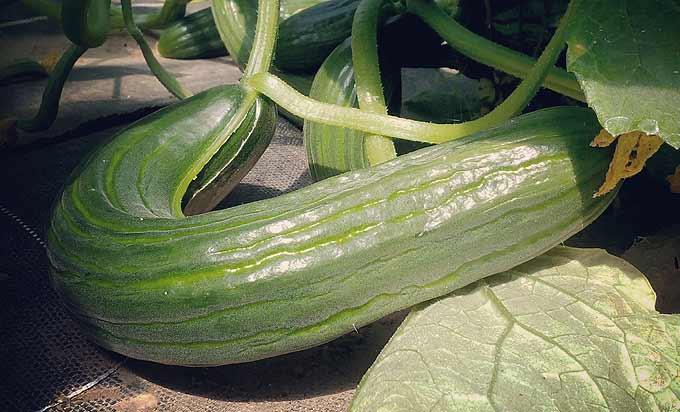 Beau concombre cultivé au soleil