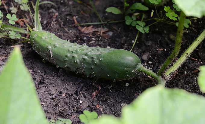 Jeune concombre qui pousse au potager