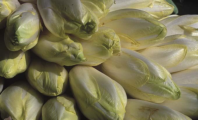 La récolte des endives du potager