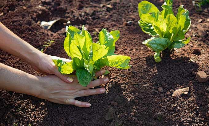 Plantation des semis d'endive