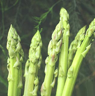 Fiche plantation asperge