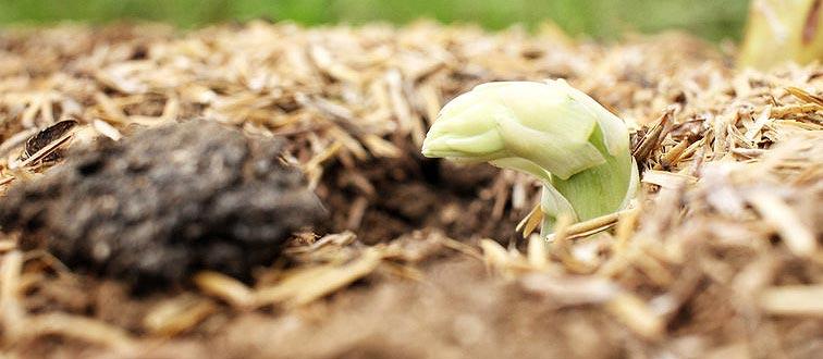 Plant d'asperge qui sort de terre
