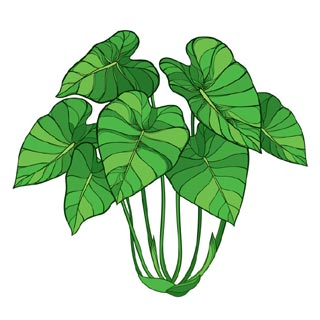 Plant de taro