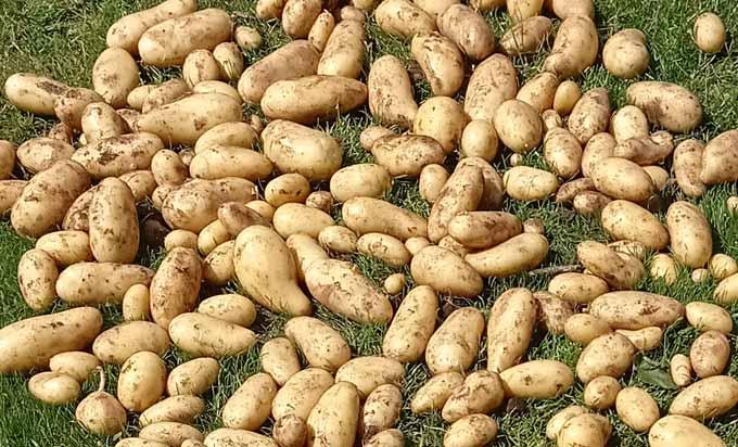 La récolte des pommes de terre du potager
