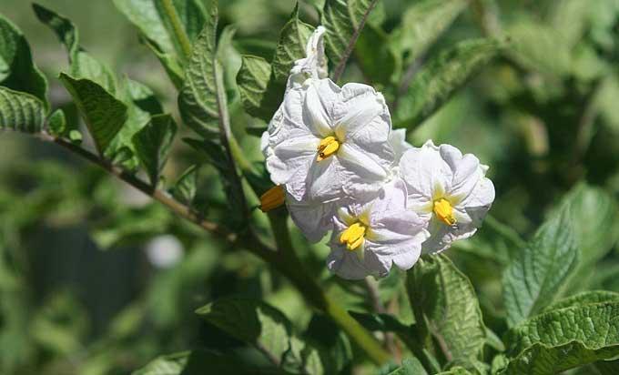 Pomme de terre en fleur, un signal de récolte
