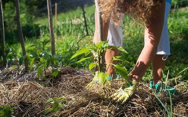 Au potager en mai, couvrez les jeunes plants avec du paillis.