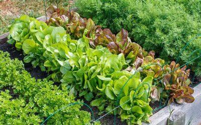 conseil culture salade