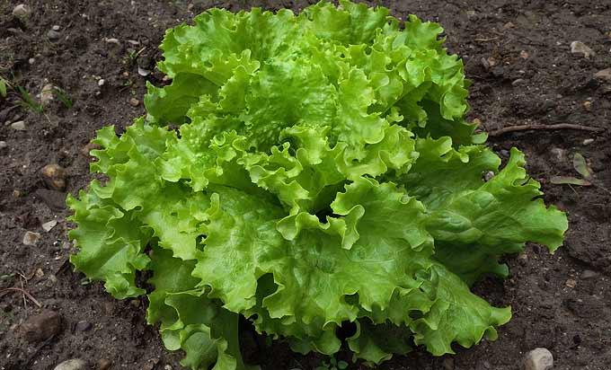 Salade frisée, la plus croquante des salades