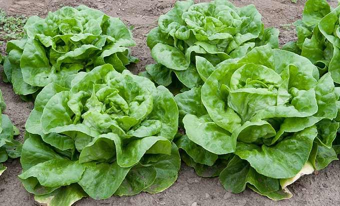 Belles salades du jardin
