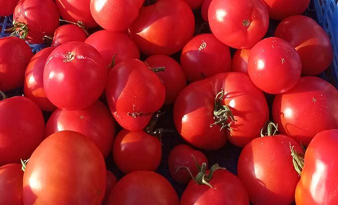 La récolte des tomates du potager