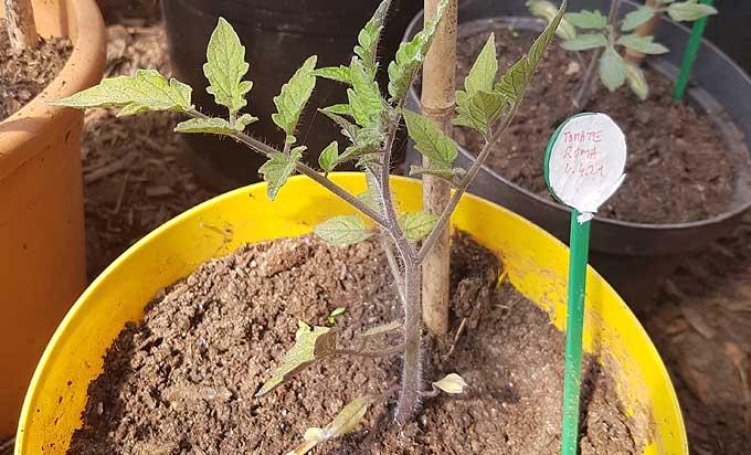 Semis de tomate Roma sous serre