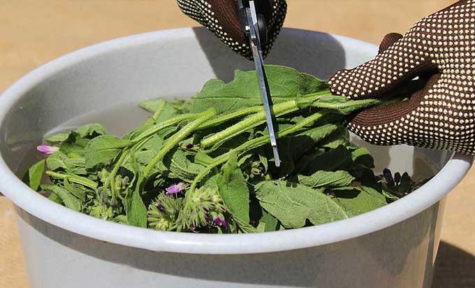 Préparation du purin de consoude