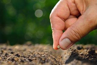 Semis graines de mâche