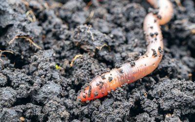 Les vers de terre au potager